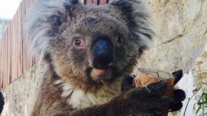 UNDA koala